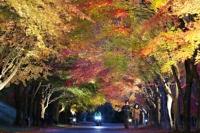 ライトアップして鮮やかな色が浮かび上がった「もみじ湖」の紅葉=4日午後5時ごろ、箕輪町