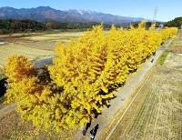 黄色く染まり日差しに映えるイチョウ並木=11日午前10時22分、中川村葛島(地権者らの承諾を得て小型無人機で撮影)