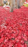 カエデの葉が広がる長円寺の境内。赤いじゅうたんのよう=12日午前10時27分、茅野市玉川