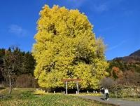 黄金に染まる「神戸のイチョウ」