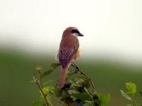 環境省が国内希少野生動植物種(希少種)に追加する鳥「アカモズ」(今井仁氏撮影)