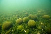 北海道釧路市の阿寒湖に生息する球状のマリモ=2019年5月(若菜勇さん提供)