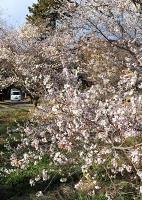 晩秋の陽光を浴びて咲き誇る四季桜=26日、飯田市千栄
