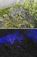 ドローンから撮影したクマが潜む茂み。中央に生える木の手前にいるが分かりにくい(上)。同じ場所を赤外線カメラで撮影すると隠れるクマが赤紫色に浮かび上がった=13日(石川県小松市消防本部提供)