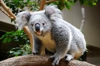 名古屋市の東山動植物園で行われた動物の人気投票で8年ぶりに首位となったコアラ(同園提供)