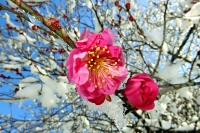 雪をまとい、青空に映える紅梅=13日、飯田市の元善光寺