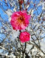 雪をまとって咲く元善光寺の紅梅=13日午前10時55分、飯田市座光寺
