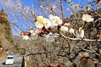 次々とほころぶ「冬至梅」=21日、天龍村