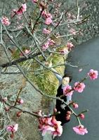 咲き始めた三光寺の紅梅=17日、富士見町