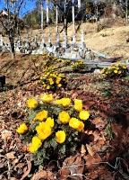 境内を彩る福寿院のフクジュソウ=19日、泰阜村田本地区