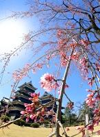 つぼみがほころび始めた「駒つなぎの桜」=24日午前11時23分、松本市の松本城本丸庭園
