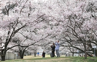 見頃を迎えた高遠城址公園のタカトオコヒガンザクラ=30日午後3時12分、伊那市高遠町