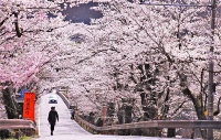 坂戸橋の一帯で見頃を迎えた桜=30日午前11時12分、中川村