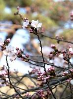 小諸城址「懐古園」で開花したソメイヨシノ