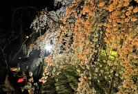 ライトアップされた兎川寺のシダレザクラ=30日午後7時半、松本市里山辺