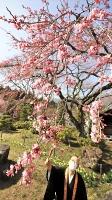 光前寺で咲き始めたシダレザクラを見る吉沢住職=31日午後1時46分