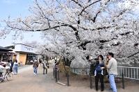 満開となった臥竜公園のソメイヨシノ=2日