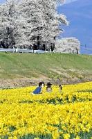上川河川敷のスイセンと桜に囲まれて、パチリ