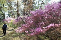 薄紫色の花びらが日差しに映えるミツバツツジ=9日、飯田市の天竜峡