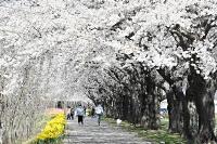満開を迎えた「さくラさく小径」の桜