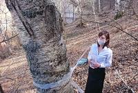 シラカバの樹液採取作業