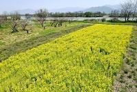 千曲川(奥)の河川敷で満開になった菜の花=20日午前10時46分、長野市穂保