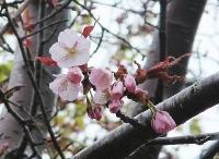 北海道稚内市で開花が確認されたエゾヤマザクラ=8日午前(稚内地方気象台提供)