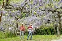淡い紫色の花が見頃を迎えた「見晴らし公園」のフジ棚=12日午後0時6分、長野市若穂綿内