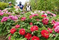 色とりどりの大輪の花で境内を彩るボタン=13日、塩尻市片丘北熊井の常光寺