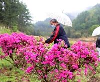 見頃を迎えた佐久市常和のツツジ。協議会メンバーらが花の咲き具合など確認していた=16日