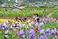 鮮やかな花が咲きそろったジャーマンアイリス観光花園=17日、千曲市倉科