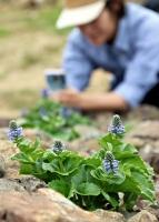 五分咲きのウルップソウ。6月中旬にかけて見頃を迎える=2日