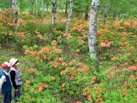 シラカバ林の中、一面に広がるレンゲツツジ