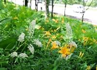 見頃となった黄色いニッコウキスゲと共に斜面を彩る白いミカワバイケイソウ=7日、阿南町新野