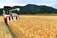 黄金色に実った大麦を収穫するコンバイン=8日、千曲市森