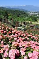 残雪が映える中央アルプスを背景に咲き誇るバラ園=9日、伊那市高遠町