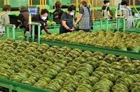 10日に始まったスイカの選果作業=松本市波田