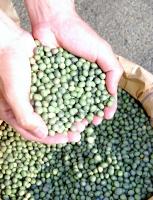 若穂綿内の千曲川河川敷で収穫した大豆「青入道」