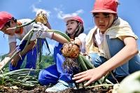 タマネギを収穫し「大きい」と驚きの声を上げる東塩田小の5年生=15日午前9時48分、上田市古安曽