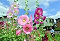 梅雨の晴れ間に、茎の下方から鮮やかな花を咲かせるタチアオイ=24日、飯山市
