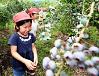 農園でブルーベリー狩りを楽しむ園児たち=15日、南箕輪村