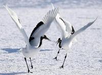 北海道鶴居村の給餌場に飛来し、白銀の雪上で華麗に舞うタンチョウ=2月