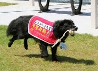 開所した福島県飯舘村のドッグランで、疾走する災害救助犬「じゃがいも」=17日午前