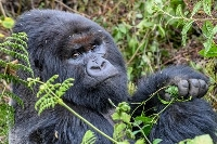 ルワンダの火山国立公園のゴリラ(撮影・中野智明、共同)