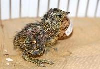 国内で初めて人工授精によって誕生したニホンライチョウのひな=17日、東京・上野動物園(東京動物園協会提供)