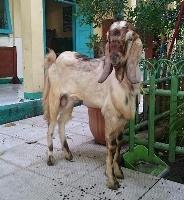 インドネシアの犠牲祭でささげ物となるヤギ(コラムで取り上げたヤギではありません)