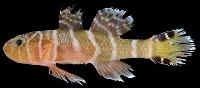 高知県柏島沖で発見された新種のハゼ「ホウセキイレズミハゼ」(小枝圭太特任助教提供)