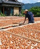 塩漬けにされていた梅の天日干し作業をする小芝鉄也さん=23日午前、和歌山県田辺市