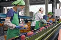 篠ノ井西部青果物流通センターで本格的に始まった桃の出荷=26日、長野市