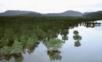 沖縄県・西表島のマングローブ林